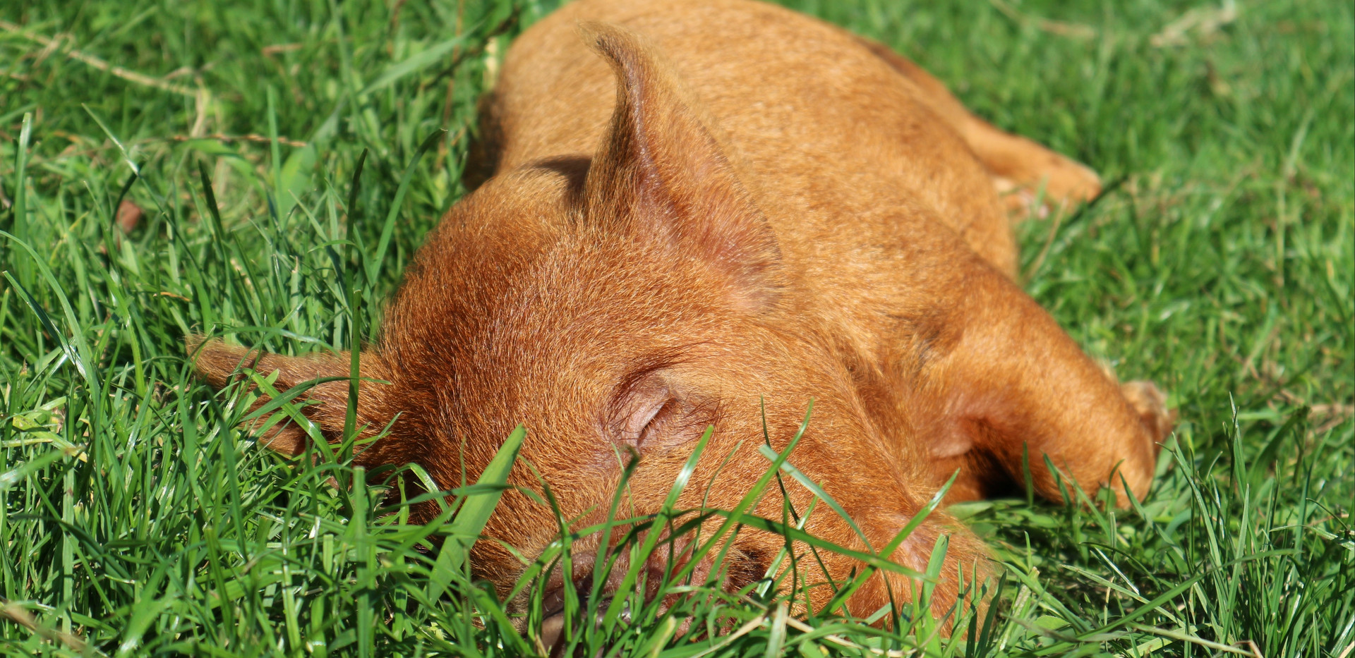 Ginger borg 6,5 week oud