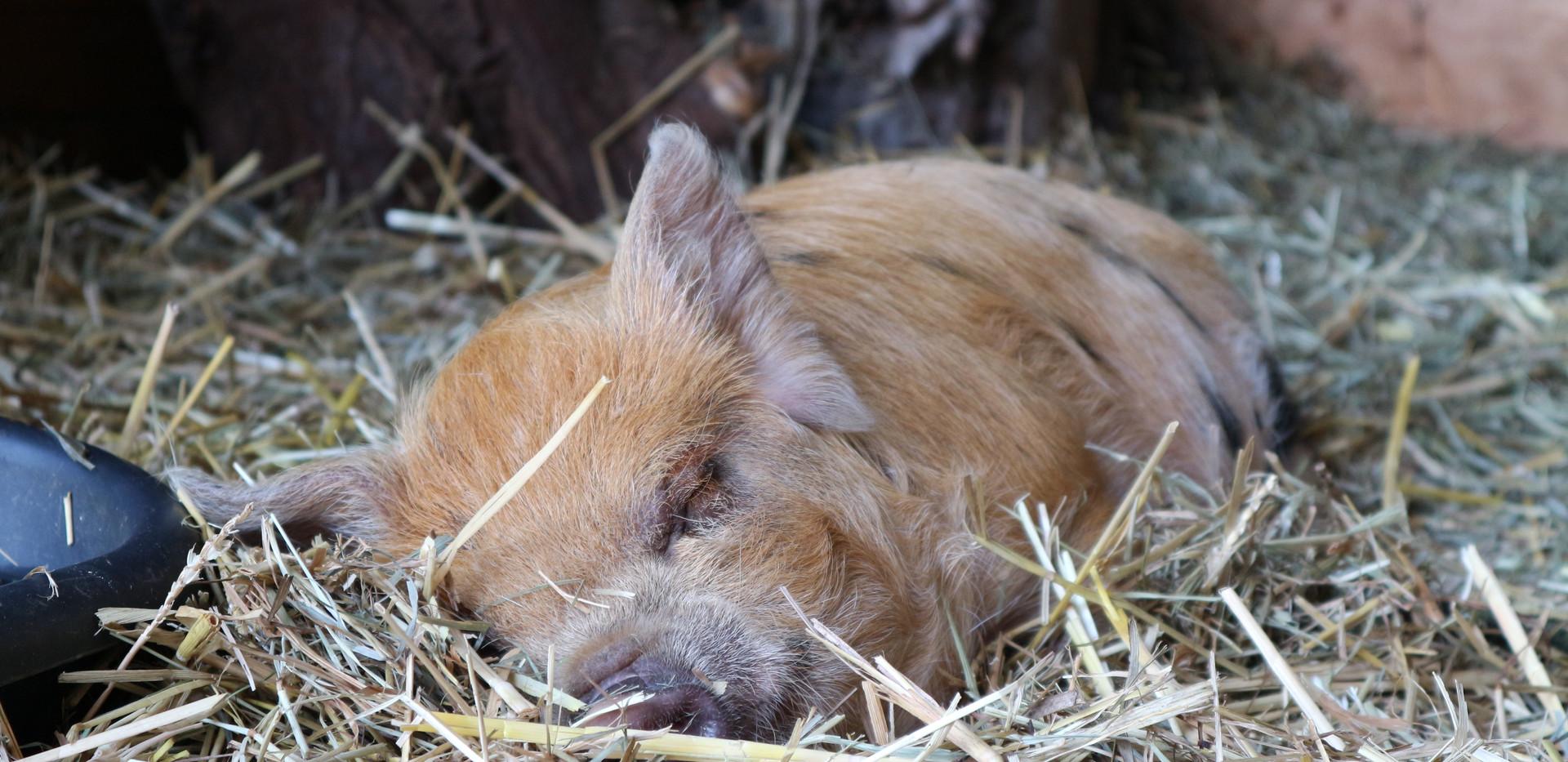 Ginger-gevlekte borg 8 weken oud