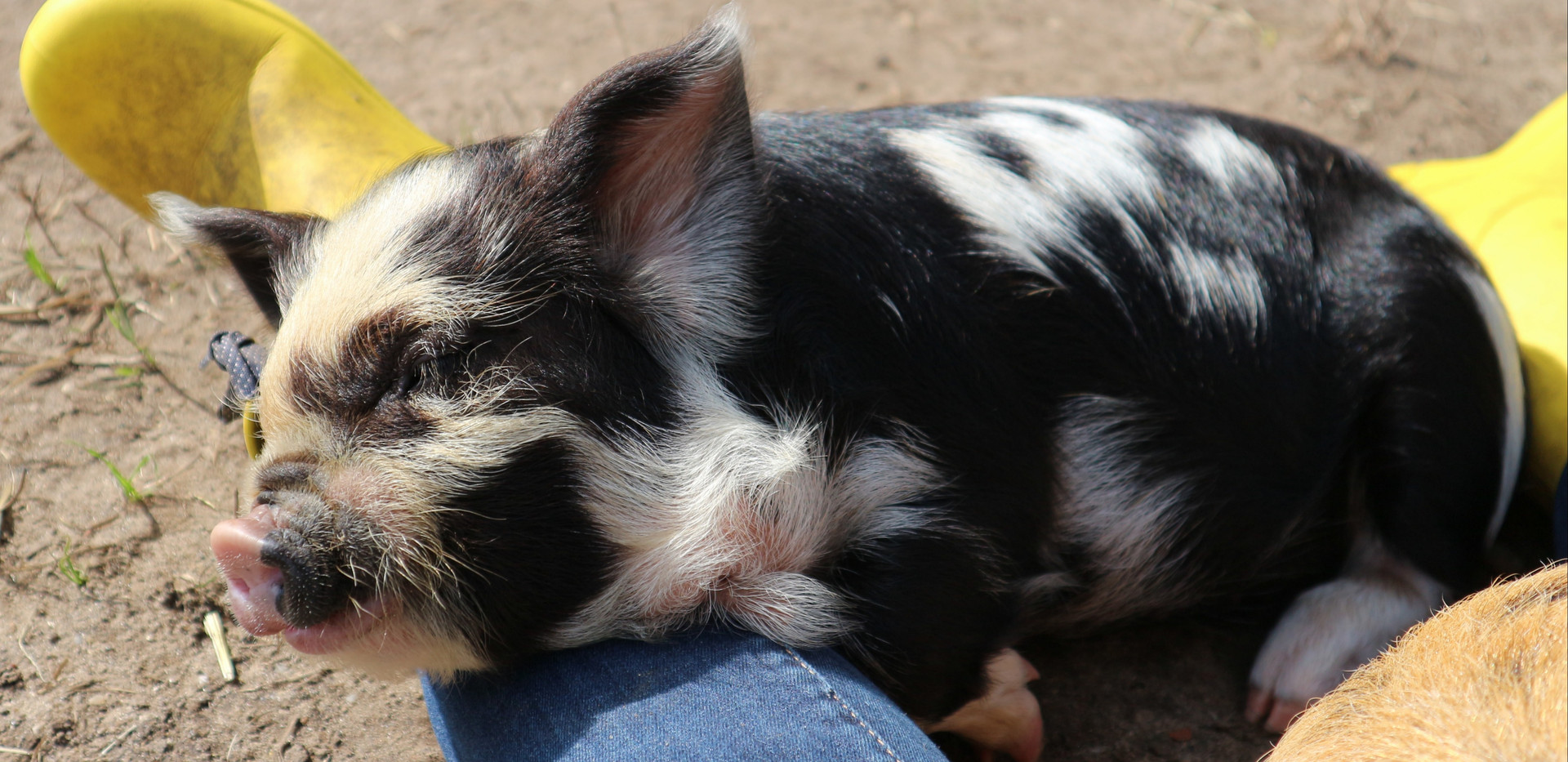 Dit poppie gaat Puk heten bij de nieuwe eigenaars (Arne en Hester). Precies de goede naam voor haar! 6,5 week oud