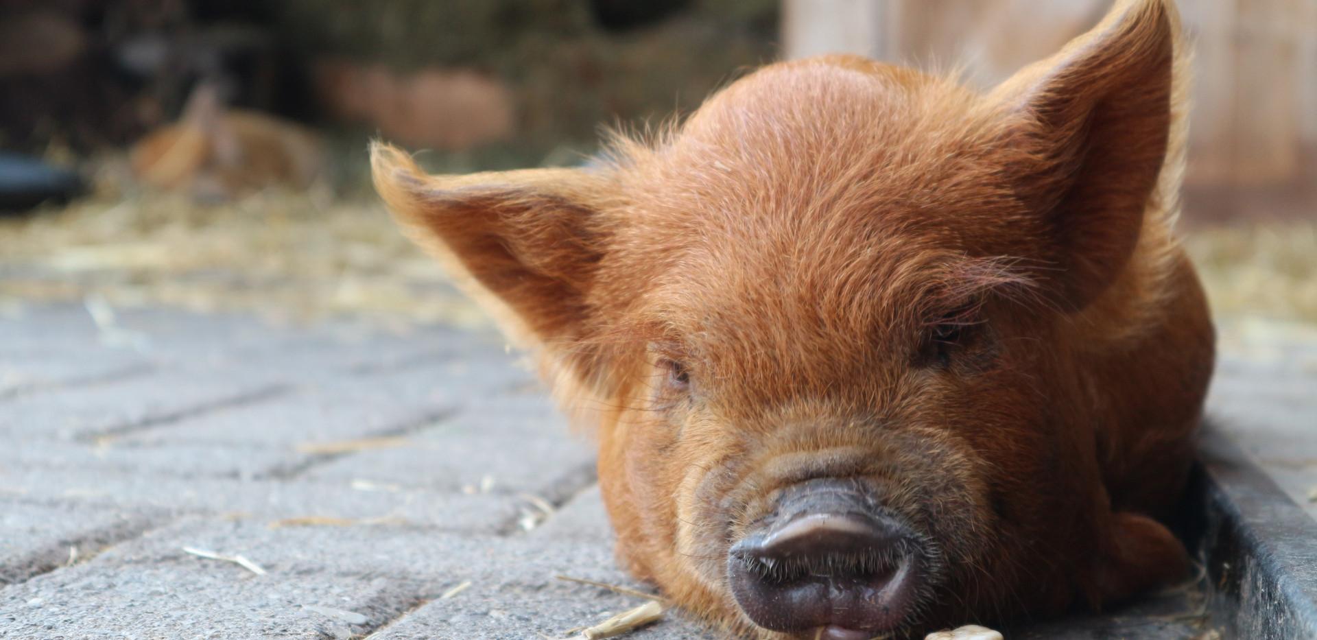 Dan maar lekker in slaap vallen naast het steentje... Ginger borg 8 weken oud
