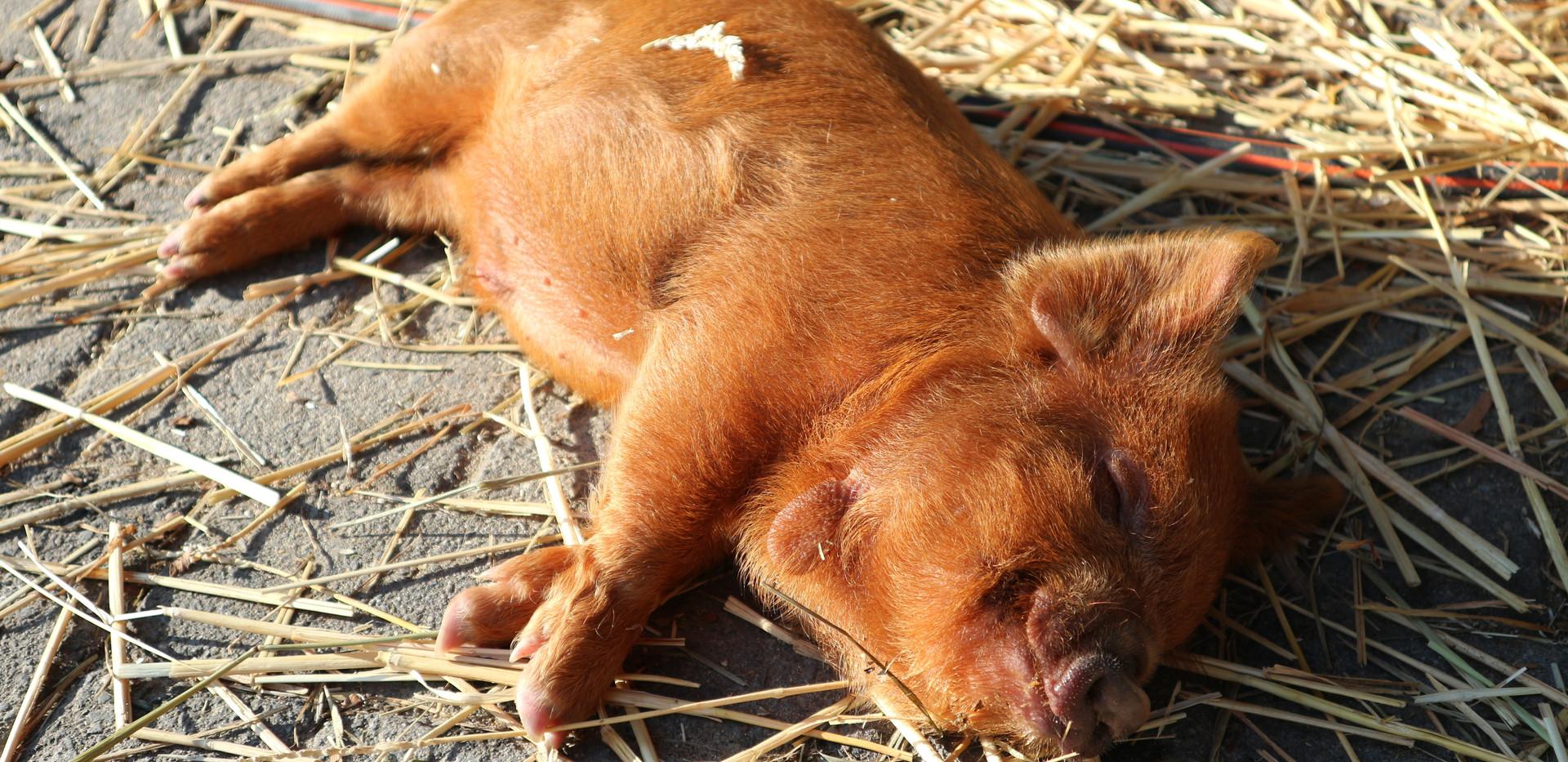 Ginger borg 7 weken oud