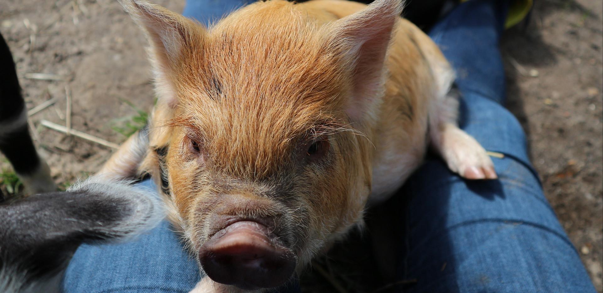 Ginger-gevlekte borg 6,5 week oud