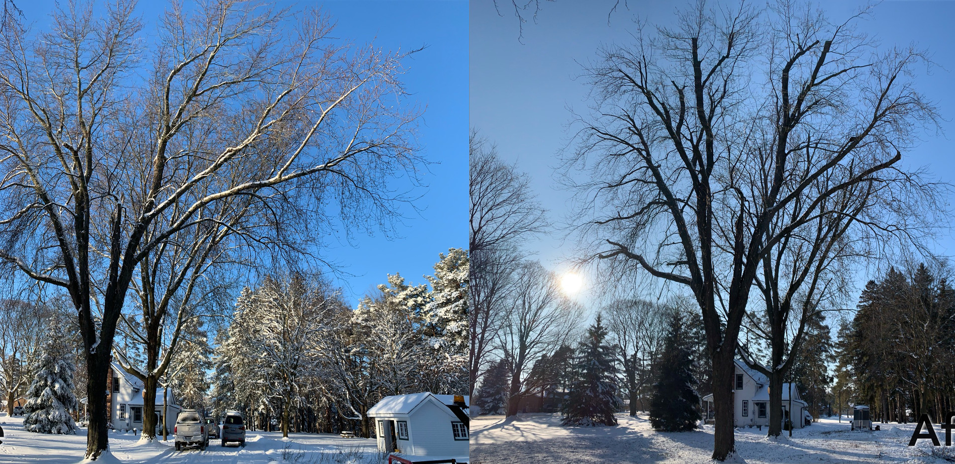 Silver maple before and after.jpeg