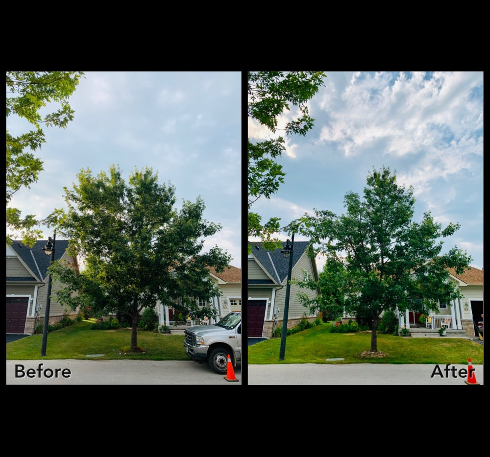 Freeman maple before and after