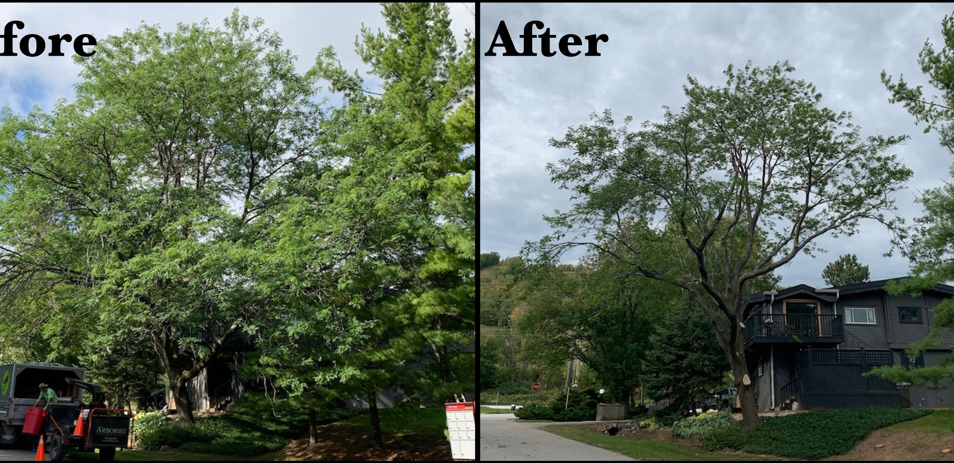 Honeylocust before and after.jpg