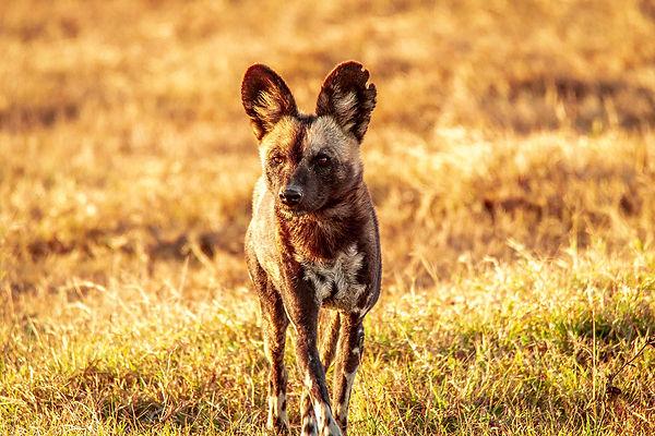 hyena_1.jpg