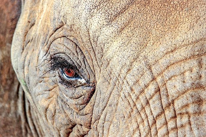 elephant_eyes_1.jpg
