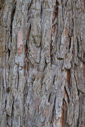 E.Séquoia.JPG