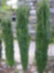 landscape shrubs lexington sc
