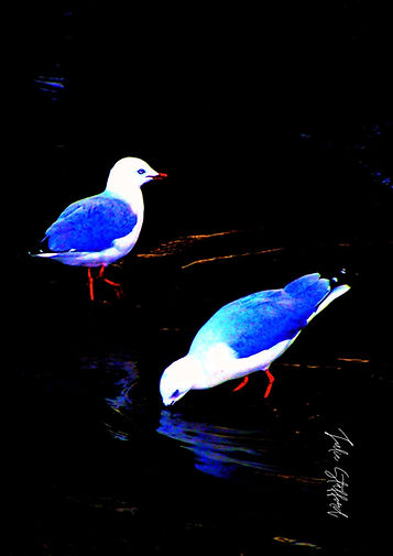 TWO BLUE SEAGULLS.jpg