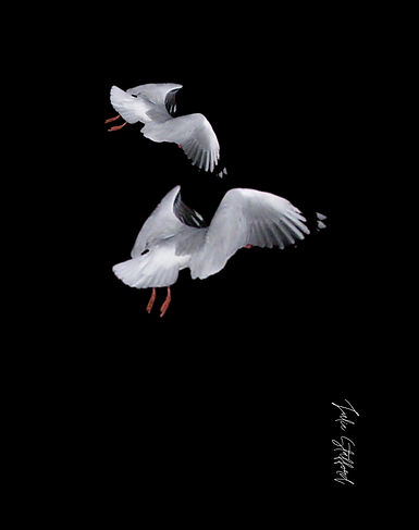TWO SEAGULL DANCING ON THE WIND.jpg