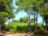 сосновый лес в пицунде