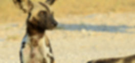 African wilddogs - Selous Game Reserve