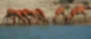 Antelope, Serengeti, Tanzania