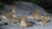 Lions Ngorongoro National Park