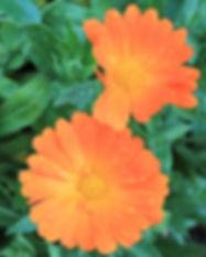 Ringelblumen (Calendula officinalis)