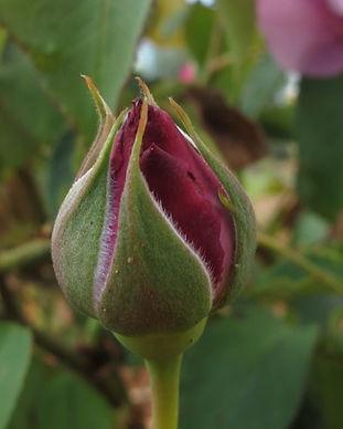 daisy - rosebud_edited.jpg