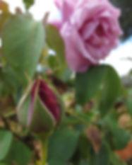 rote Rosenknospe und rosane Rose (Rosa spp.)