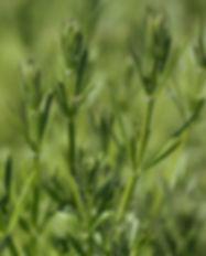 Klettenlabkraut (Galium aparine)