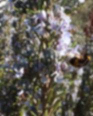Rosmarin (Rosmarinus officinalis) mit einer Hummel