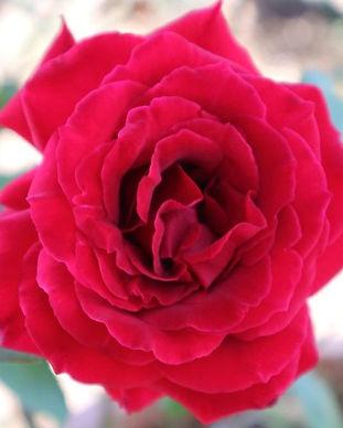 Red Rose at Ceratonia Gardens