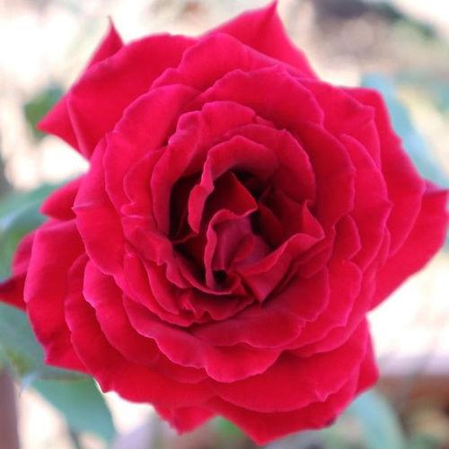 Red Rose at Ceratonia