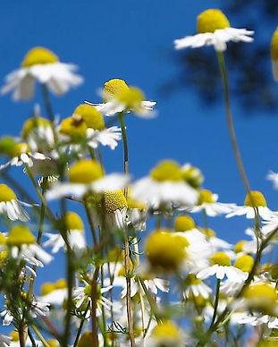 Kamille (Matricaria recutita) - Ceratoni