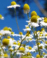 Kamille (Matricaria recutita)