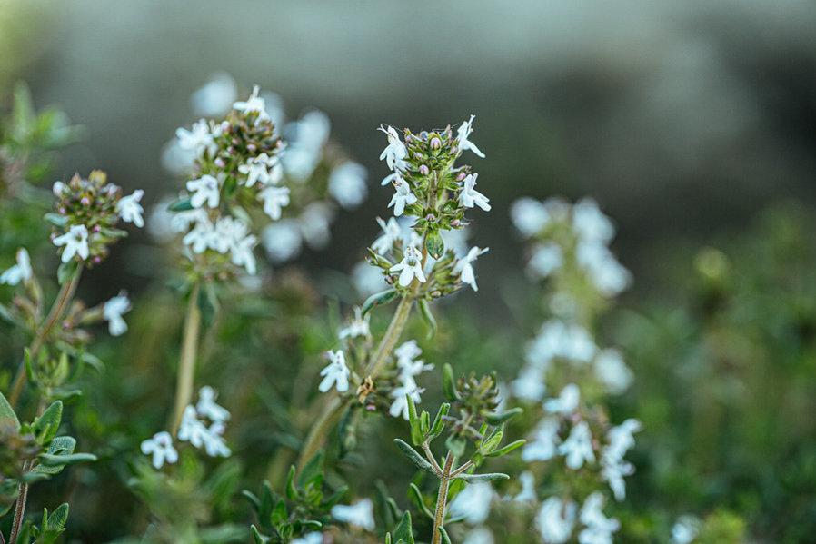 Thymus spp.
