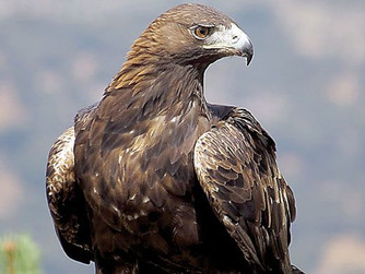 An Eagle's Flight of Rebirth