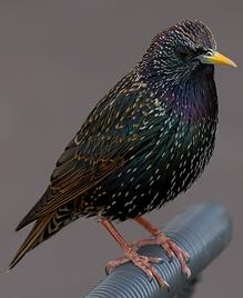 starling.png