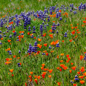 """Exploring the early spring """"Super Bloom"""" in our Backyard - 2019"""