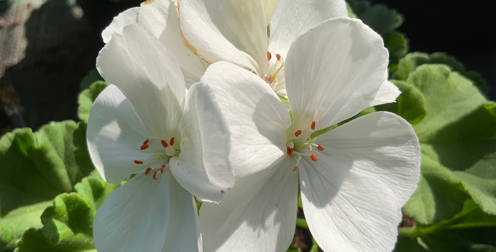 Géranium zonale blanc pot de 12 cm