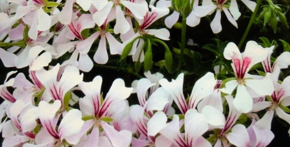 Géranium lierre roi du balcon blanc