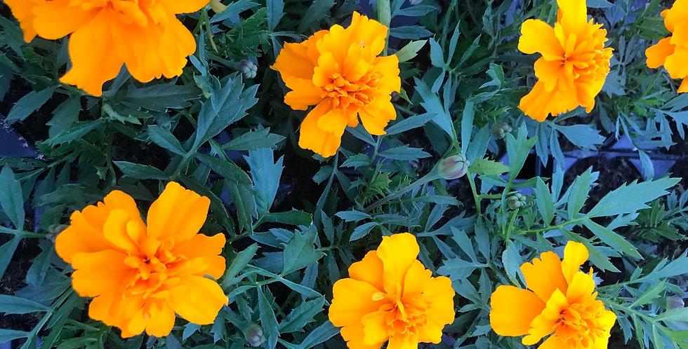 Œillet d'Inde orange barquette de 6