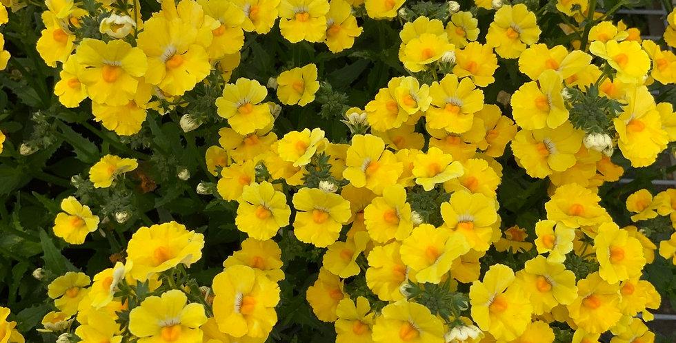 Nemesia jaune pot de 10 cm