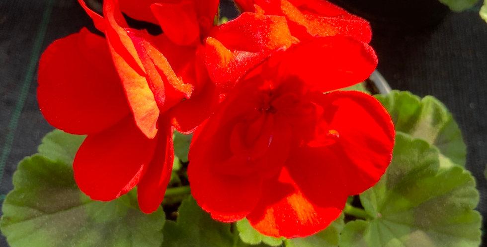 Géraniums zonale rouge pot de 12 cm