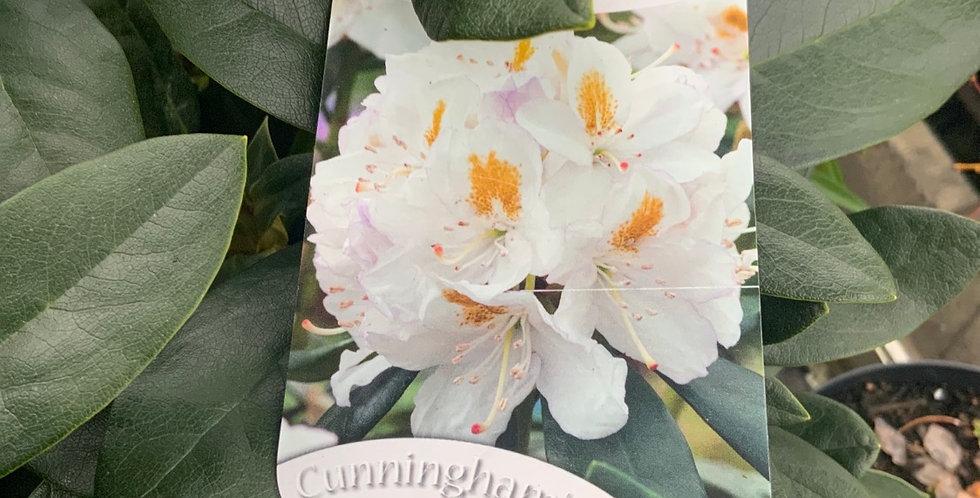 Rhododendron Cunningham's white pot de 23 cm