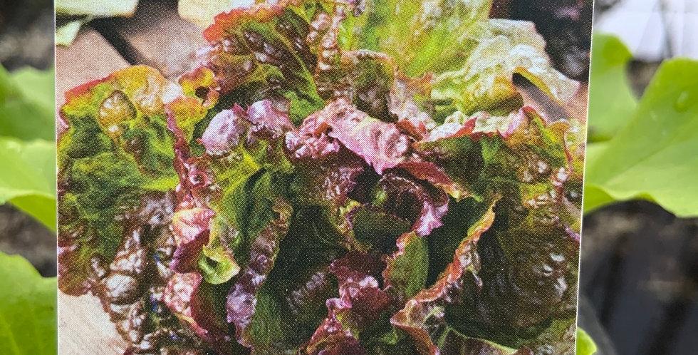 Salade batavia rouge barquette de 6