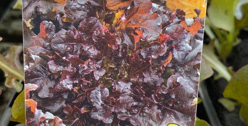 Salade Feuille de chêne rouge barquette de 6