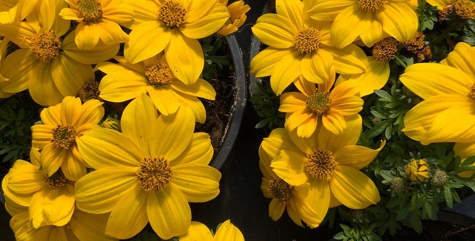Bidens Jaune fleurs simples pot de 10 cm