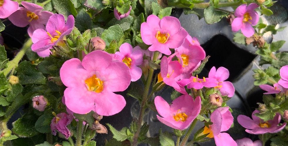 Bacopa rose pot de 10 cm