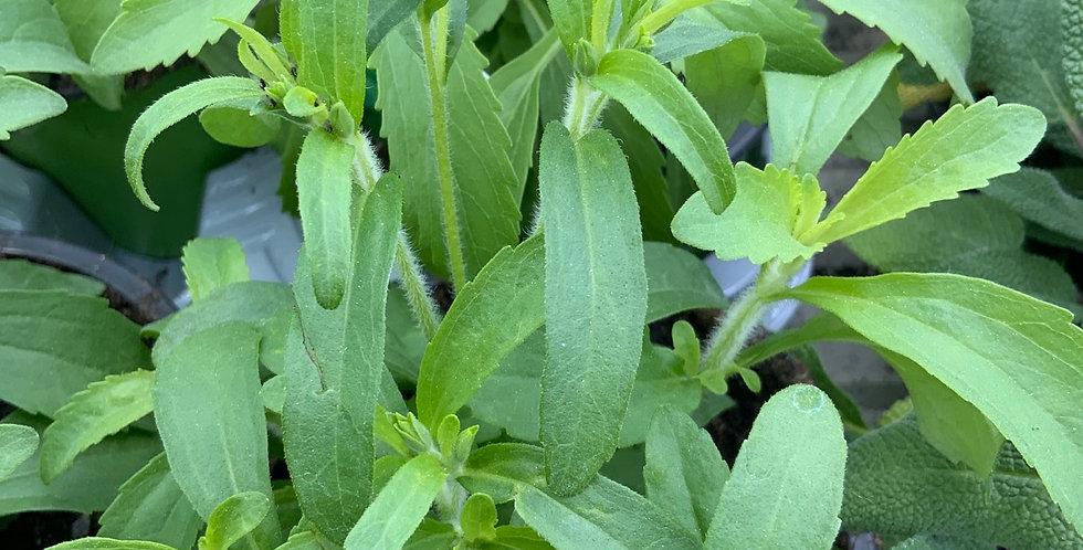Stevia rebaudiana pot de 12/14cm plante à sucre