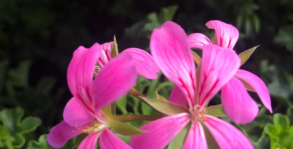 Géraniums lierre roi du balcon violet pot de 12cm