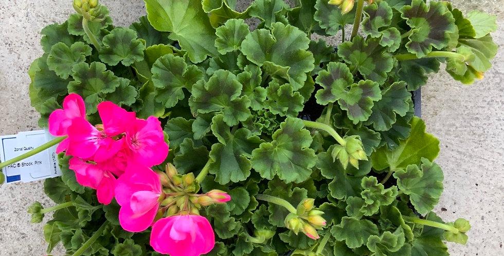Barquette six géraniums zonale rose