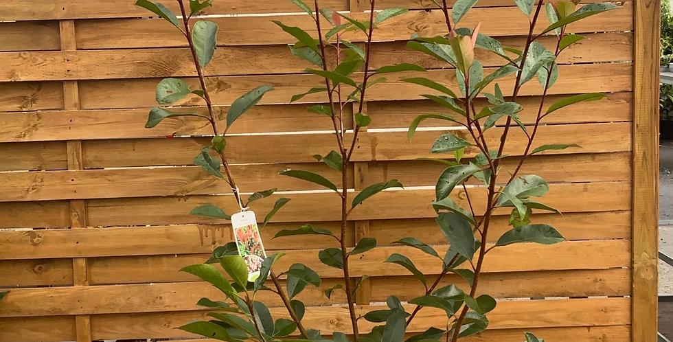 Photinia pot de 23 cm
