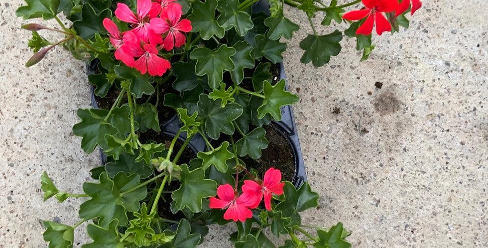 Barquette  6 géraniums Roi du balcon rouge
