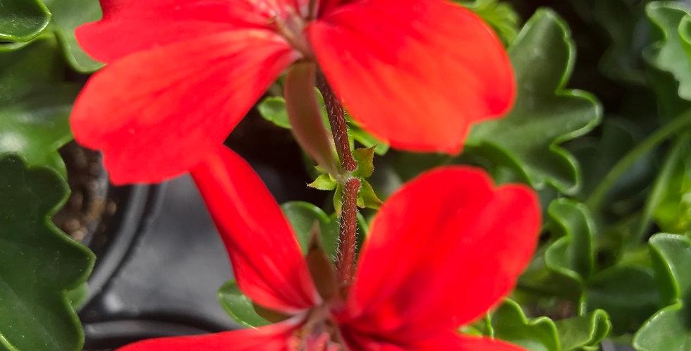 Géranium lierre roi du balcon rouge pot de 12cm