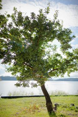Bröllop - träd