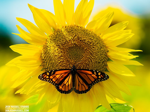 """8x10 Print - """"Sunflower &  Butterfly"""""""